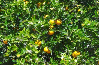 Orangenbäume auf der Finca Limonera